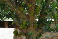 Afrykański-owoc2