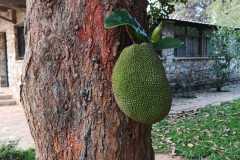 Afrykański-owoc6