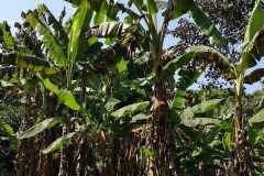 Plantacja-bananów-pastewnych1