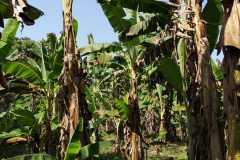 Plantacja-bananów-pastewnych2