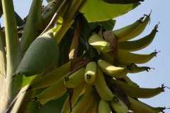Plantacja-bananów-pastewnych3
