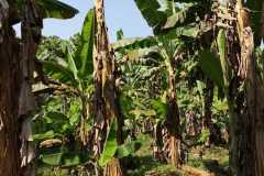 Plantacja-bananów-pastewnych4