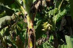 Plantacja-bananów-pastewnych5