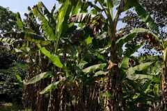 Plantacja-bananów-pastewnych6