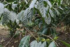 Plantacja-kawy1