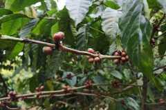 Plantacja-kawy2