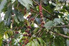 Plantacja-kawy3