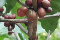 Plantacja-kawy4