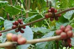 Plantacja-kawy5