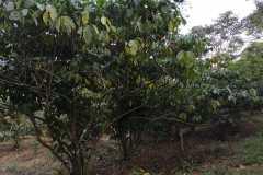 Plantacja-kawy6